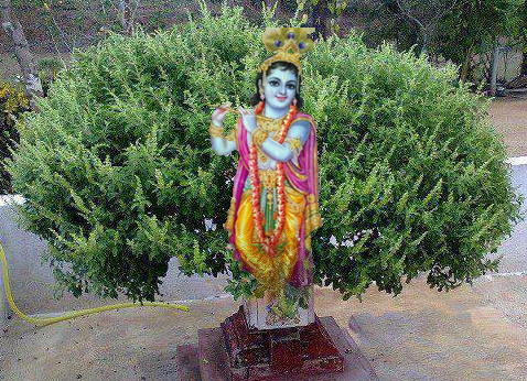 Uttana Dwadashi or Tulasi Vivaha, Importance of the festival and the